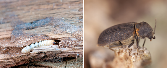 Woodworm Life History